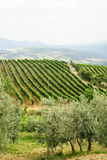 Vineyards of Montalcino (Tuscany) Stock Photography