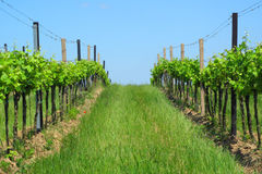 Vineyards in Moravia Royalty Free Stock Photos