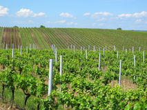 Vineyards in Moravia Stock Photography
