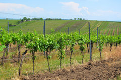 Vineyards in Moravia Royalty Free Stock Image