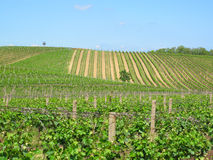 Vineyards in Moravia Stock Image