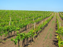 Vineyards in Moravia Royalty Free Stock Photo
