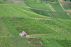 Vineyards at the mosel Stock Photography