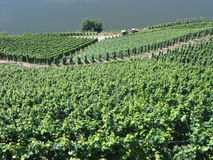 Vineyards in Mosel Germany Stock Photos