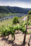 Vineyards at the Mosel Stock Images