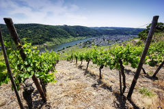 Vineyards at the Mosel Royalty Free Stock Photo