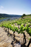 Vineyards at the Mosel Stock Photos