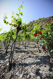 Vineyards at the Mosel, Germany Stock Images