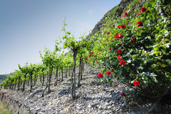 Vineyards at the Mosel, Germany Royalty Free Stock Images