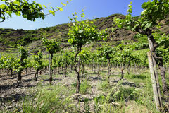 Vineyards at the Mosel, Germany Stock Photo