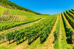 Vineyards in Mosel Valley Germany Stock Photo