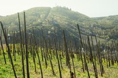 Vineyards of the Mosel valley stock images