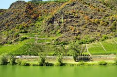 Vineyards in Moselle mountains. Mosel river Royalty Free Stock Image