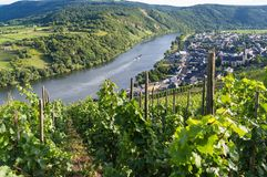 Vineyards of the Moselle River Stock Photography