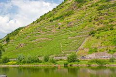 Vineyards in Moselle valley Stock Images
