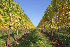 Vineyards of the Moselle Valley. Stock Photo