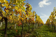 Vineyards of the Moselle Valley. Royalty Free Stock Photo