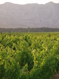 Vineyards with mountain as background Royalty Free Stock Image