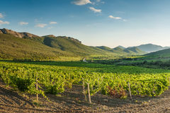 Vineyards in mountain Royalty Free Stock Photo