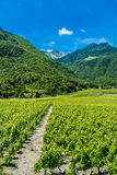 Vineyards and mountain. Royalty Free Stock Images