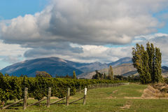 Vineyards with mountains in background Stock Photo