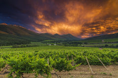 Vineyards and mountains on the background of  sunset. Stock Photo