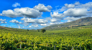 Vineyards in the mountains Stock Image