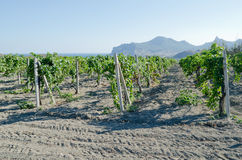 Vineyards in the mountains in Koktebel, Crimea Stock Photos