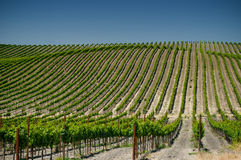 Vineyards of napa valley, usa Royalty Free Stock Photography
