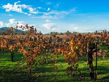 Vineyards in Nappa Valley Stock Photography