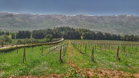 Vineyards nature at Chateau Kefraya Lebanon. One of the best wineries in Lebanon, west bekaa valley. stock image