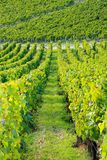 Vineyards near Auxerre, vines of Burgundy  France Royalty Free Stock Photo