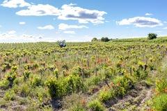 Vineyards near Chateauneuf-du-Pape, France. Vineyards near Chateauneuf-du-Pape, Provence, France, cotes, rhone, europe, alpes, azur, vaucluse, department stock photo
