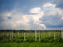 Vineyards near Focsani, Romania. In spring, with dramatic storm clouds overhead Royalty Free Stock Photos