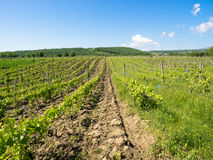 Vineyards near Focsani, Romania, in spring. Freshly plowed, with a patch of forest in the background and blue sky overhead Stock Image