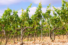 Vineyards near Haro Stock Photography