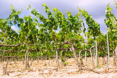Vineyards near Haro Stock Photos