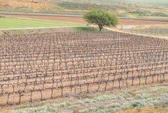 Vineyards near Lutzville Royalty Free Stock Photos