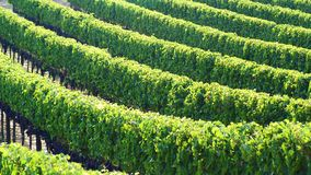 Siena vineyards. Italy. Siena. Vineyards near Siena, Italy. Green leaves and heavy grape clusters. Vines in parallel rows royalty free stock photo