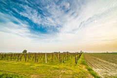 Vineyards near small young seedlings Stock Photo