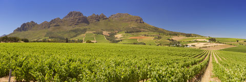 Vineyards near Stellenbosch in South Africa. Vineyards with mountains in the background near Stellenbosch in South Africa royalty free stock images