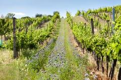 vineyards near Velke Bilovice, Czech Republic royalty free stock images