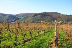 Vineyards near Wintrich on the Moselle. Vineyards near Wintrich and Kesten on the Moselle in Germany Stock Photos