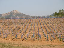 Vineyards new structure  field. Royalty Free Stock Photos
