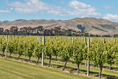 Vineyards in New Zealand in summertime Royalty Free Stock Photo