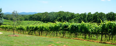 Vineyards of North Georgia USA Stock Photography