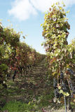 Vineyards in northern Rhone Valley Stock Photo