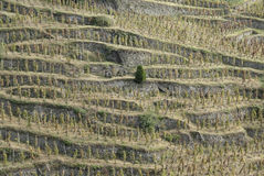 Vineyards in northern Rhone Valley (France) Stock Image