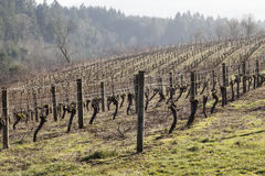 Vineyards, Northern Willamette Valley Stock Photos