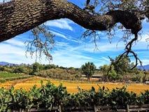 Vineyards and Oak Tree. Vineyards and farm fields beyond oak tree near Los Olivos, California in October, 2016 stock photos
